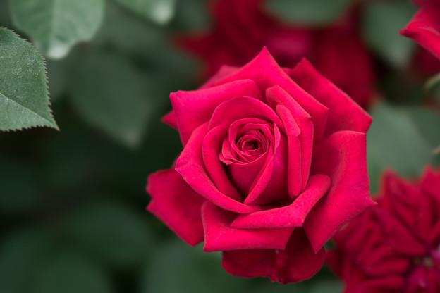 YEG【薔薇:ノワール】