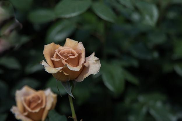 YEG【薔薇:面影】