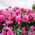 大船植物園【薔薇:うらら】1