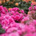 大船植物園【薔薇:うらら】2