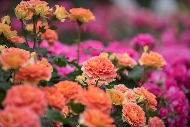 大船植物園【薔薇:ブラスバンド】1