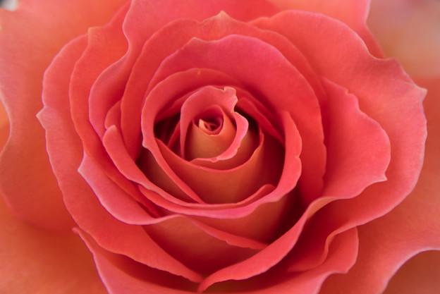 大船植物園【薔薇:ブラスバンド】7