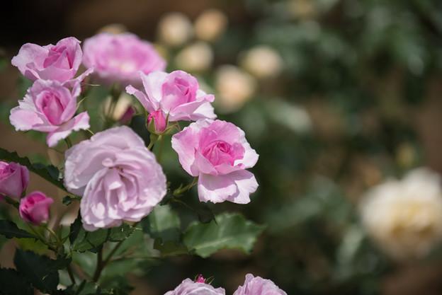 大船植物園【薔薇:コティリオン】1
