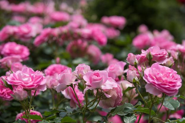 大船植物園【薔薇:ラブ・ミー・テンダー】