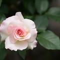 大船植物園【薔薇:マチルダ】1