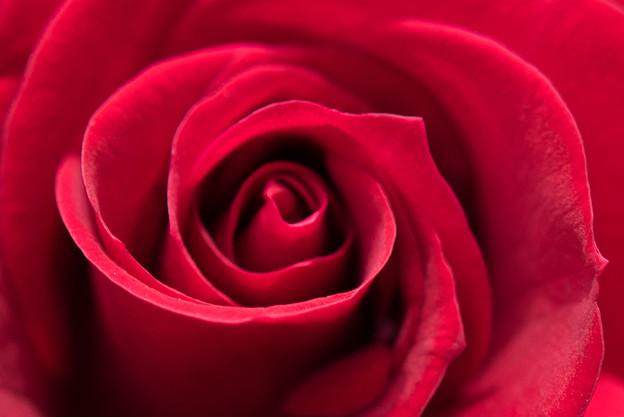 大船植物園【薔薇:ニコロ・パガニーニ】2