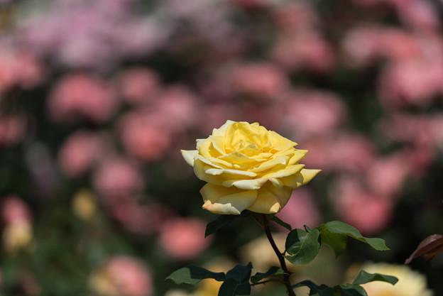 谷津バラ園【薔薇:ゴールデン・ハート】