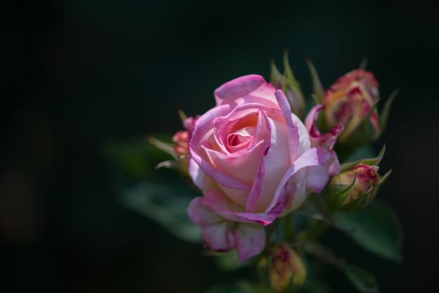 谷津バラ園【薔薇:花山吹】1