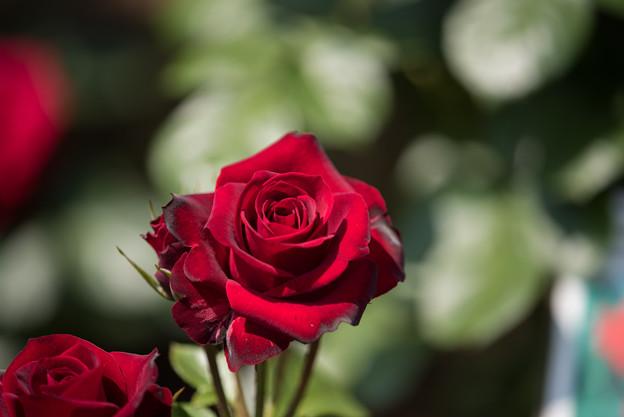 谷津バラ園【薔薇:ニコロ・パガニーニ】1