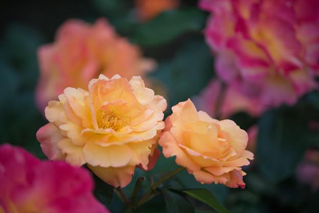 谷津バラ園【薔薇:スーブニール・ドゥ・アンネ・フランク】