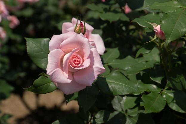 谷津バラ園【薔薇:ブライダル・ピンク】2