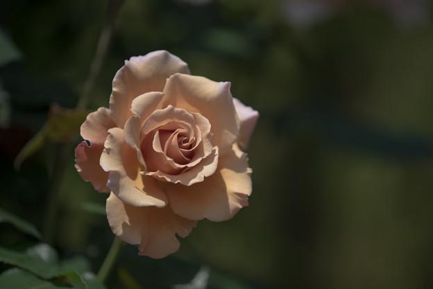 谷津バラ園【薔薇:つる・ジュリア】