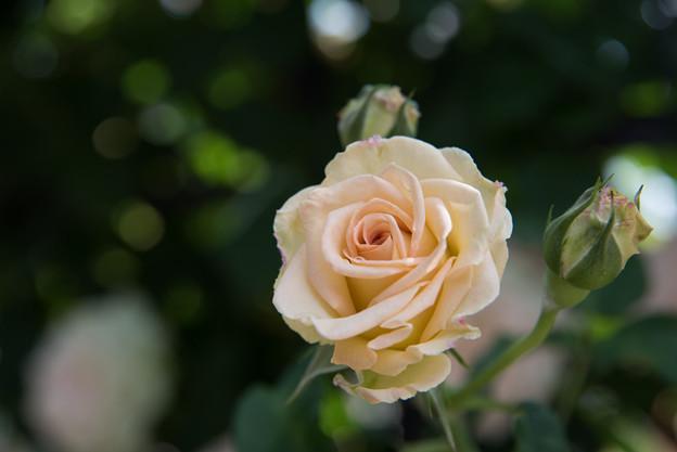 神代植物公園【薔薇:エメラルド・アイル】1