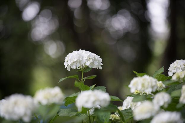 相模原北公園の紫陽花【インマクラータ】5