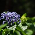 薬師池公園【渦紫陽花】1