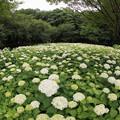 相模原北公園の紫陽花【アナベル】3