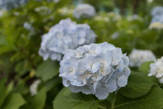 相模原北公園の紫陽花【シロテマリ】2