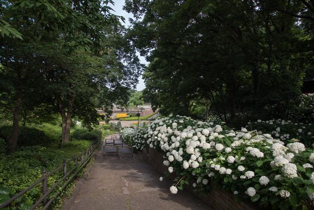 相模原麻溝公園【アジサイ】1