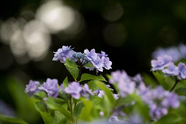 昭和記念公園【青色の額紫陽花】4