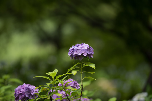昭和記念公園【赤色の紫陽花】2