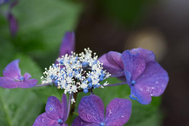 昭和記念公園【赤色の額紫陽花】5