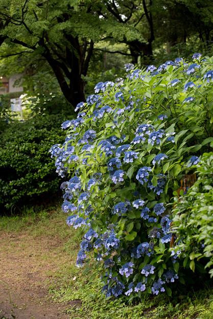 昭和記念公園【白色の額紫陽花】1