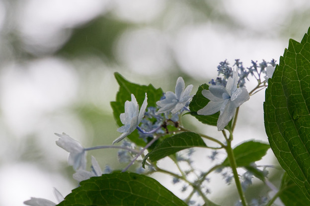 昭和記念公園【白色の額紫陽花】4