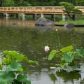 昭和記念公園【日本庭園の蓮】