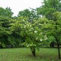写真: 昭和記念公園【ノリウツギ】1