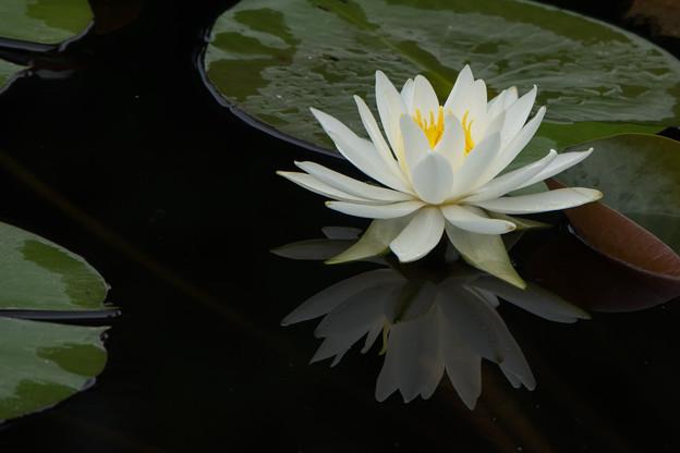 大船植物園【スイレン】5