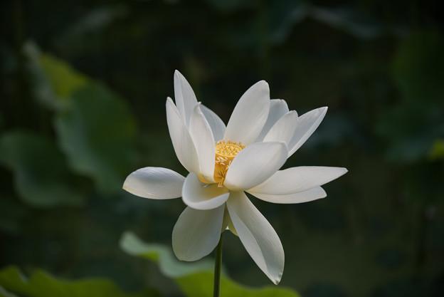 中井蓮池の里【白系の蓮】5