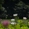 花菜ガーデン【田んぼたんぼの蓮】1-2