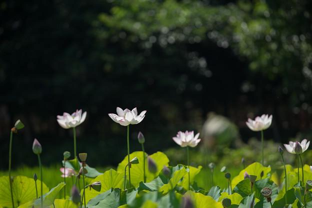 花菜ガーデン【田んぼたんぼの蓮】1-5