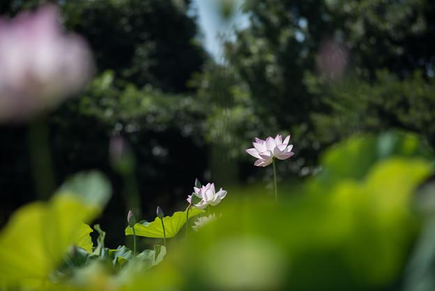 花菜ガーデン【田んぼたんぼの蓮】2-1