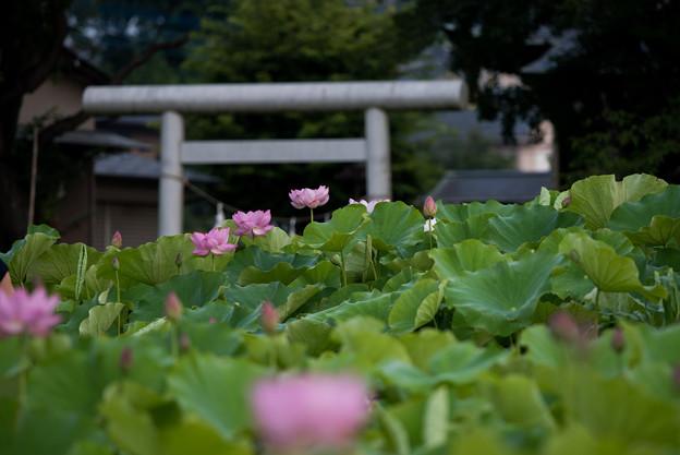 【小山田神社の蓮】1-1