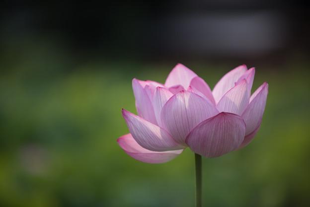 【小山田神社の蓮】1-5