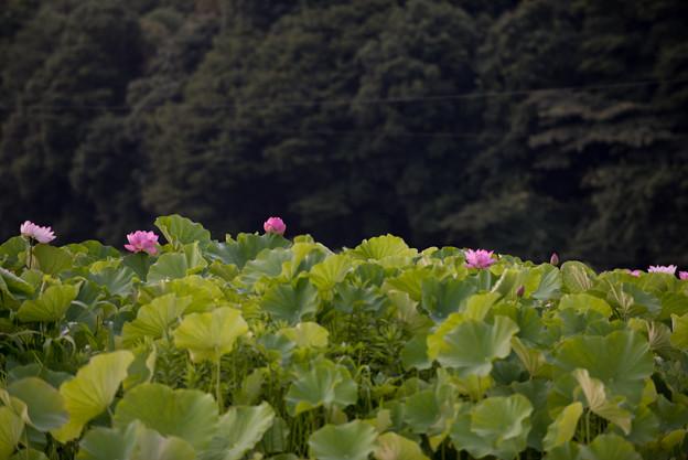 【小山田神社の蓮】2-2