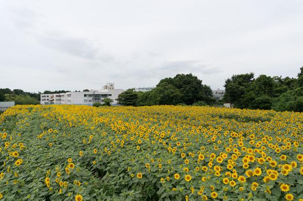 【座間栗原会場のヒマワリ】2