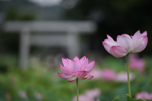【小山田神社の大賀蓮】1-3