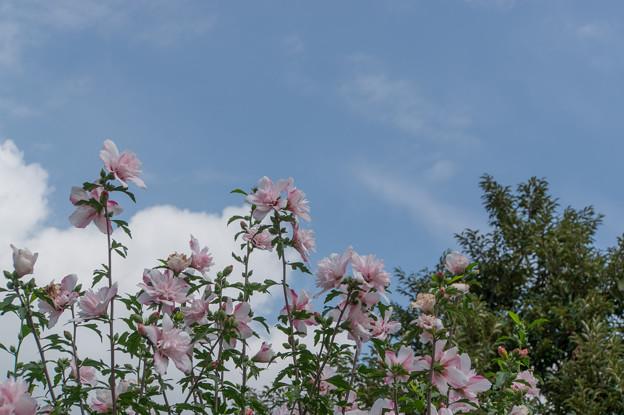 花菜ガーデン【ムクゲ】1