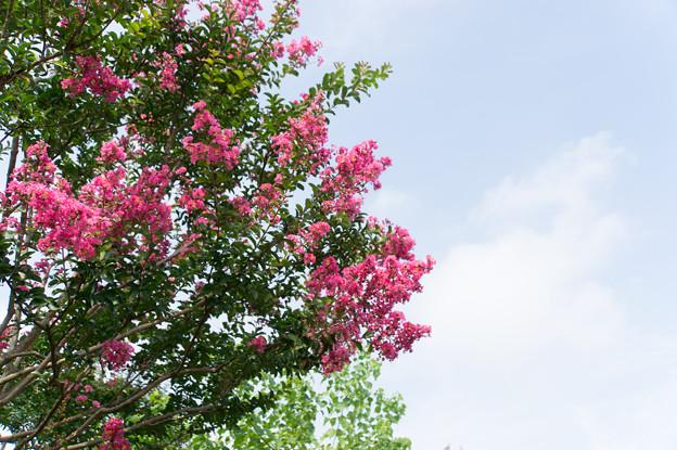 花菜ガーデン【青空とサルスベリ】