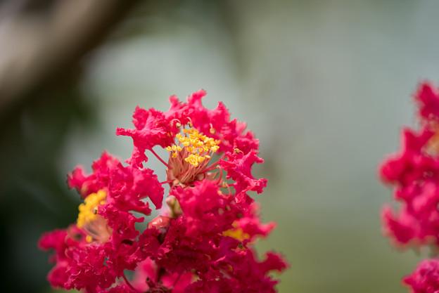 花菜ガーデン【赤系サルスベリ】