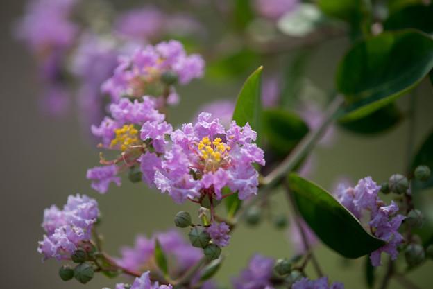 花菜ガーデン【紫系サルスベリ】