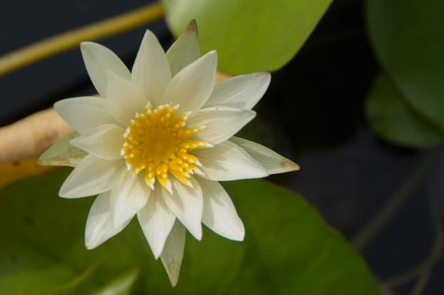 花菜ガーデン【熱帯スイレン:ホワイト・パール】