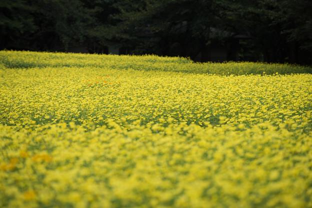 昭和記念公園【原っぱ東花畑のキバナコスモス】1-4