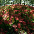 巾着田【赤い絨毯】3