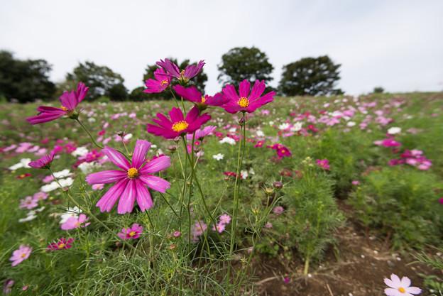 昭和記念公園【花の丘のコスモス:ドワーフ・センセーション】広角3