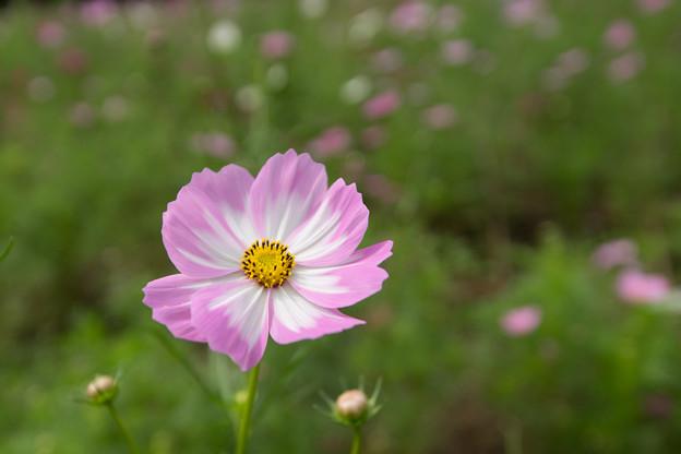 昭和記念公園【花の丘のコスモス:ドワーフ・センセーション】広角5