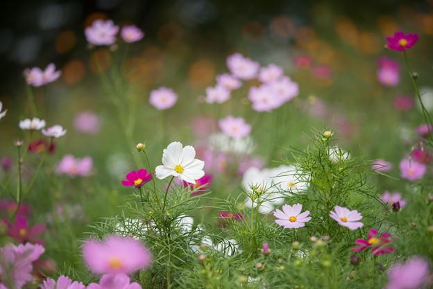 昭和記念公園【花の丘のコスモス:ドワーフ・センセーション】望遠マクロ4