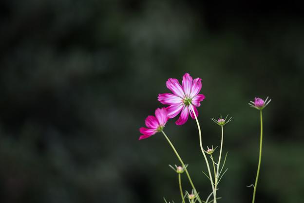 昭和記念公園【花の丘のコスモス:ドワーフ・センセーション】望遠1
